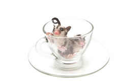 Two little joey in tea cup Stock Photos