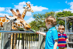 Two little kids boys and father watching and feeding giraffe in Royalty Free Stock Image