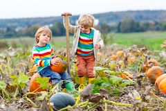 Two little kids boys picking pumpkins on Halloween pumpkin patch. Children playing in field of squash. Kids pick ripe. Vegetables on a farm in Thanksgiving stock image