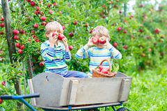 Two little kids boys picking red apples on farm autumn royalty free stock photography