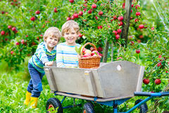 Two little kids boys picking red apples on farm autumn Stock Photography
