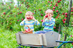 Two little kids boys picking red apples on farm autumn Stock Photo