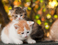 Two little kitten Royalty Free Stock Photos