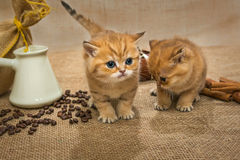 Two little kitten and ingredients for coffee Stock Photography