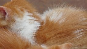 Two little kitten sleeping. Fur background stock footage