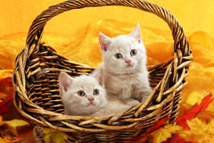 Two little kitten in a wicker basket Royalty Free Stock Photos