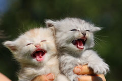 Free Two Little Kittens Stock Photo - 23328560
