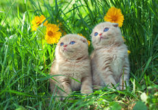 Two little kittens royalty free stock image