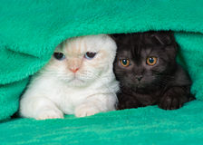 Two little kittens. Two cute little kittens peeking out from under the soft warm green blanket Stock Image