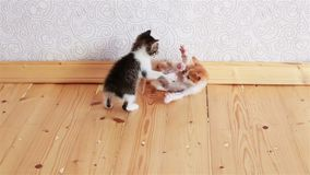 Two Little Kittens Playing with Each Other Wrestling Small Cats stock video footage