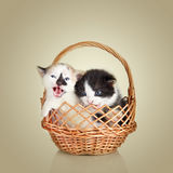 Two little kittens sitting in basket Royalty Free Stock Photo