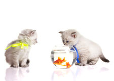 Two little kittens and two goldfish Royalty Free Stock Images