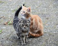 Two little kittens are waiting for their mom Royalty Free Stock Photography