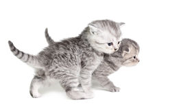 Two little kittens walking Royalty Free Stock Photos