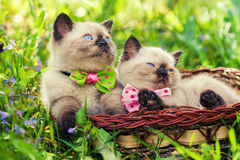 Two little kittens. Wearing bow tie in a basket on the grass Royalty Free Stock Image