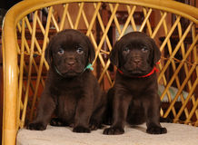 Two little labrador puppies portrait Royalty Free Stock Photos