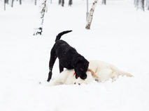 Two little Labrador Retriever puppy playing Stock Photo