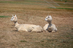 Two little lamas Royalty Free Stock Image