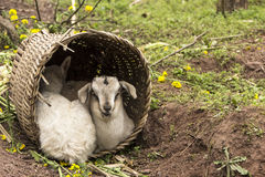 Two little lamb shelter. World light rain, two little lambs hiding in his backpack , snuggles together Royalty Free Stock Image