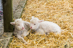Two Little lamb sleeping in straw Stock Image