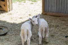 Two little lambs in a barn royalty free stock photos