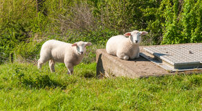 Two little lambs curiously looking Stock Image