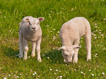 Two little lambs in a Dutch meadow Royalty Free Stock Images