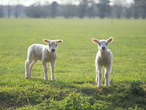 Two little lambs in the field Royalty Free Stock Photography