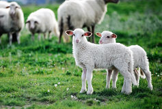Two little lambs in a flock. Cute lambs walking together to other sheeps Royalty Free Stock Photo