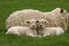 Two little lambs laying next to their mother royalty free stock images