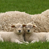 Two little lambs looking at you Royalty Free Stock Photo