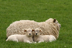 Two little lambs looking at you Stock Photos