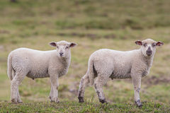 Two little lambs in the pasture Stock Image