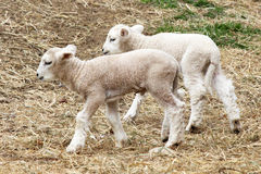 Two Little Lambs stock image