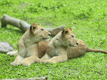Two little lions Royalty Free Stock Images