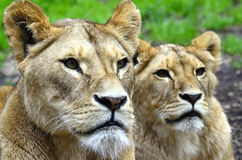 Two little lions. Watching you Royalty Free Stock Photos