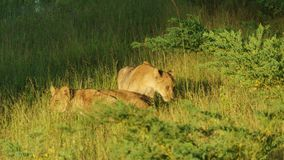 Two little lions over green grass royalty free stock image