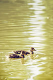 Two little Mallard ducklings – Anas platyrhynchos – in the w. Two little Mallard ducklings – Anas platyrhynchos. Bird scene. Beauty in nature. Reflections Royalty Free Stock Image
