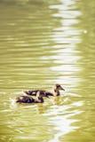Two little Mallard ducklings – Anas platyrhynchos – in the w Royalty Free Stock Image