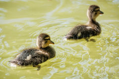 Two little Mallard ducklings in the water. Two little Mallard ducklings – Anas platyrhynchos. Reflections in water. Young ones. Dabbling duck Royalty Free Stock Image