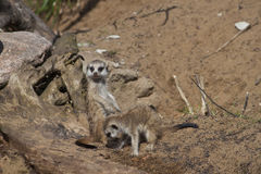Two little meercats. Two cute little meercats in the Moscow zoo Stock Photo