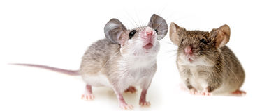 Two little mice. White background Royalty Free Stock Image