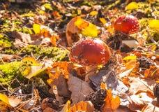 Two little mushroom Amanita muscaria Stock Photos