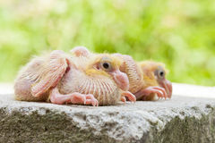 Two little naked baby pigeons Royalty Free Stock Image