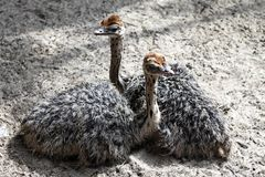 Two little ostrich girls are lying on the ground royalty free stock photos