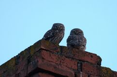Two little owl Royalty Free Stock Image