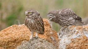 Two Little owl Athene noctua sits on a stone near his burrow stock video