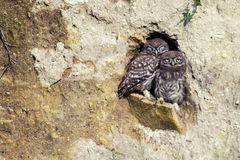 Two little owls Athene noctua peeking out of the hole in his career.  Stock Images
