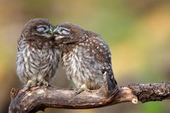Two little owls Athene noctua sitting on a stick pressed against each other. Stock Images