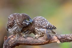 Two little owls Athene noctua sitting on a stick pressed against each other. Stock Photography